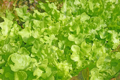 Lettuce. The Lettuce health natural vegetable Royalty Free Stock Photography