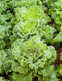Lettuce. Beautiful lectuce in vegetable garden Stock Images