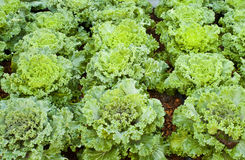 Lettuce. Beautiful lettuce in vegetable garden Stock Photography