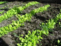 Lettuce. Beds of fresh young plants of lettuce in the garden royalty free stock photo