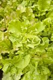 Lettuce. Raw lettuce in the photo Royalty Free Stock Images
