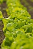 Lettuce. Healthy home lettuce in rows in garden Royalty Free Stock Photo