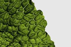Lettuce. Back lit shot of a lettuce leaf Royalty Free Stock Photos
