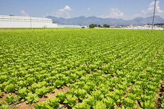 Lettuce. Plant in the field Stock Photos
