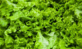 Lettuce Royalty Free Stock Photos