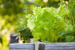 Lettuce. Green lettuce growing in vegetable garden stock image