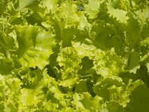 Lettuce. Fresh green lettuce with rain drops Stock Photos
