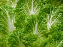 Lettuce. Leaves Stock Images