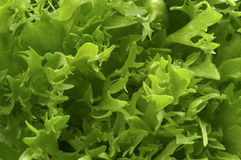 Lettuce. Curly lettuce Stock Image