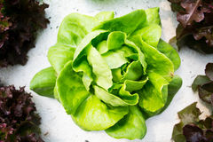 Lettuce. Fresh green lettuce. Abstract natural green backdrop Stock Photos
