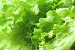 Lettuce. Close-up of lettuce leaves, nice dieting or vegetarian background Royalty Free Stock Photos