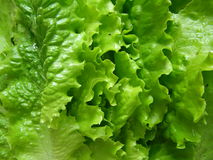 Lettuce Royalty Free Stock Image