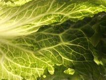 Lettuce. Leaf Lettuce royalty free stock photo