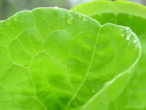 Lettuce. Leaf of lettuce royalty free stock photography