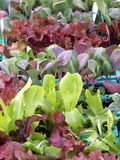 Lettuce. Assortment of green and red lettuce background royalty free stock image