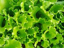 Lettuce abstract Royalty Free Stock Image