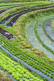 Lettuce agriculture bed on hill. Stock Photo