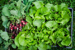 Free Lettuce And Radishes Royalty Free Stock Photography - 39739717