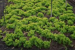 Lettuce, annual leafy vegetable of the daisy family,. Cultural practice under low land condition, Thailand Stock Photos