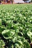 Lettuce aplenty Stock Photos
