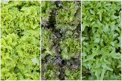 Lettuce and arugula Royalty Free Stock Photo