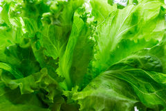 Lettuce as a background Stock Photos