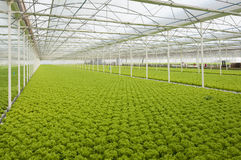 Lettuce. Automated and modern greenhouses royalty free stock photo