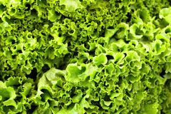 Lettuce Background Royalty Free Stock Photography