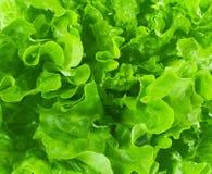 Lettuce background Royalty Free Stock Image