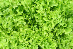 Lettuce background Royalty Free Stock Image