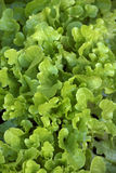 Lettuce background Stock Photo