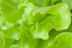 Lettuce background. Close-up plan of green lettuce Stock Photography
