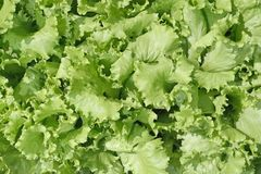Lettuce background Royalty Free Stock Photo