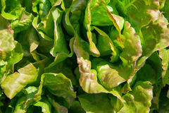 Lettuce background green Stock Images