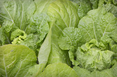 Lettuce. Background growing in a garden at the Chicago Botanic Gardens in Glencoe, Illinois Stock Image