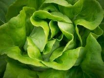 Lettuce background Stock Photography