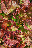Lettuce background red Royalty Free Stock Photo