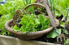 Lettuce in basket Royalty Free Stock Photography
