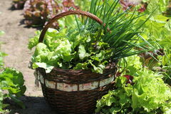 Lettuce in a basket placed near a vegetable patch Stock Image