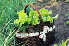 Lettuce in a basket placed near a vegetable patch Royalty Free Stock Photo