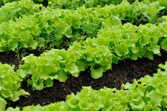 Lettuce Bed Royalty Free Stock Photography