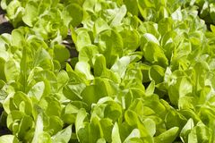 Lettuce Bed Stock Images