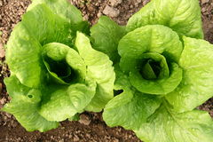 Lettuce bed in greenhouse Stock Photos