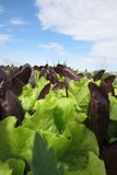 Lettuce bed and sky Royalty Free Stock Photos