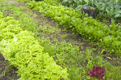 Lettuce and beets in the organic vegetable garden. Stock Photo