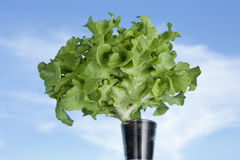 Lettuce with blue sky Stock Photo