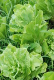 Lettuce Bolting Stock Photography