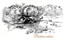 Lettuce,  botanical vintage engraving Royalty Free Stock Images