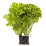 Lettuce bunch Royalty Free Stock Photo