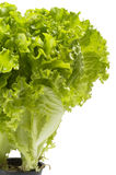 Lettuce bunch Royalty Free Stock Images